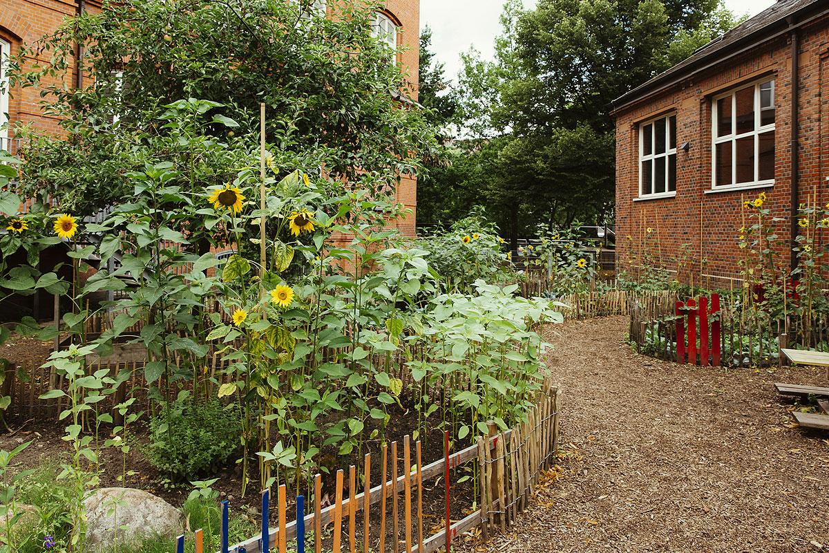Der Schulgarten beherbergt, wie man hier sieht viele Sonnenblumen und zwischen den Beeten führen verschlungene Wege und die Beete wurden mit kleinen selbst gebauten Holzzäunen umsäumt.